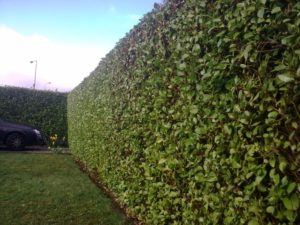 Hedge Trimming & Cutting